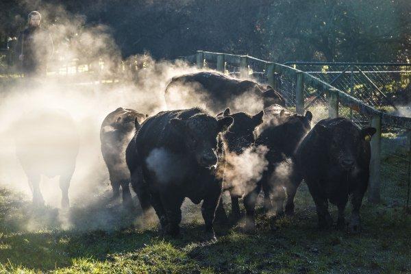 Steaming Bulls